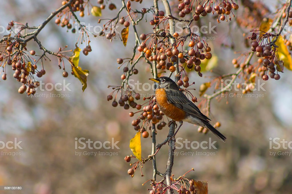 bird in a bradford pear tree stock photo