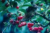 Germany, 1985. Bird in a cherry tree.