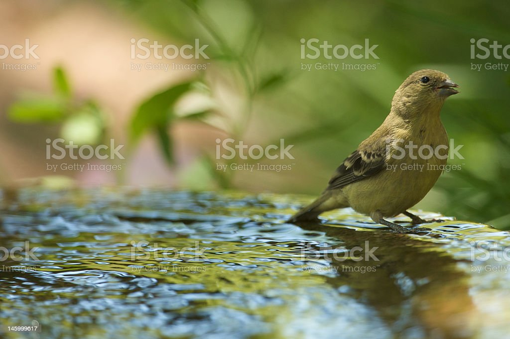 Bird in Bath stock photo