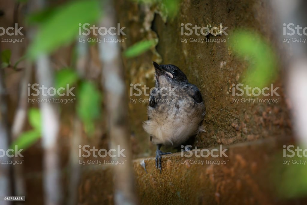 Oriental Magpie Robin fledgling bird perching on the wall .