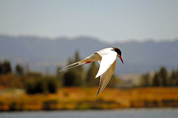 Bird in flight Bird flying. neilliebert stock pictures, royalty-free photos & images