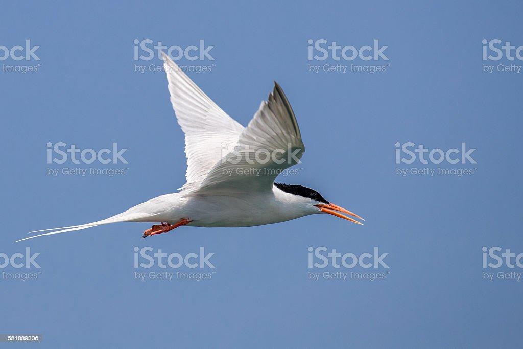 Pássaro voando-Roseate Andorinha-do-mar - foto de acervo