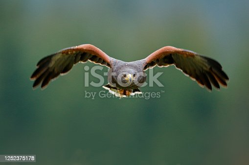 Bird in fly. Harris Hawk, Parabuteo unicinctus, landing. Wildlife animal scene from nature. Bird, face flyght. Flying bird of prey. Wildlife scene from Mexico nature. Mexico, wild forest.