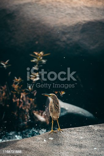Yellow bittern standing on rock. Seascape