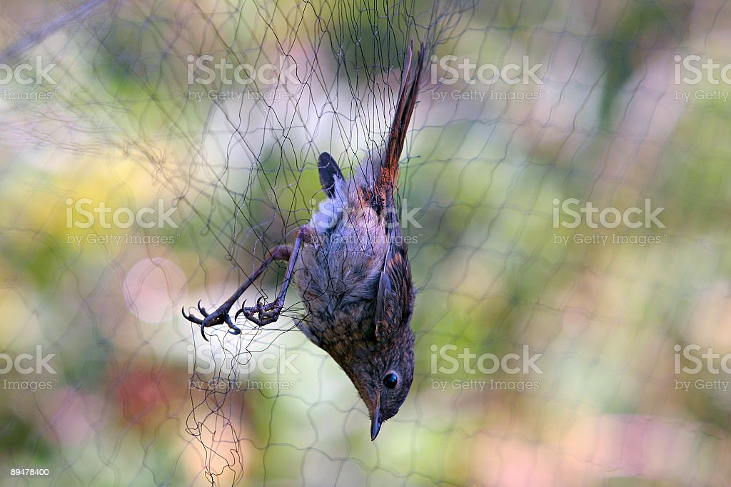 bird in net royalty-free stock photo