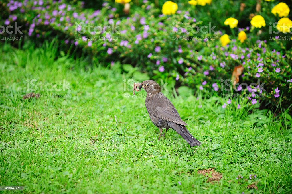 Bird in park with worm stock photo