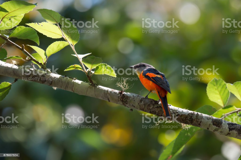 Bird in red wings. stock photo