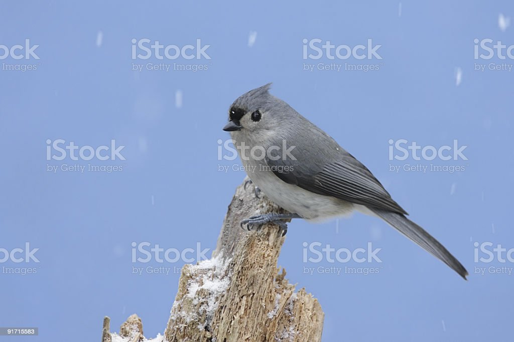 Bird In Snow Storm royalty-free stock photo