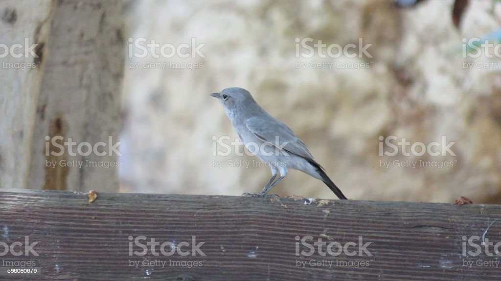 bird in the oasis of ein gedi, israel royalty-free stock photo