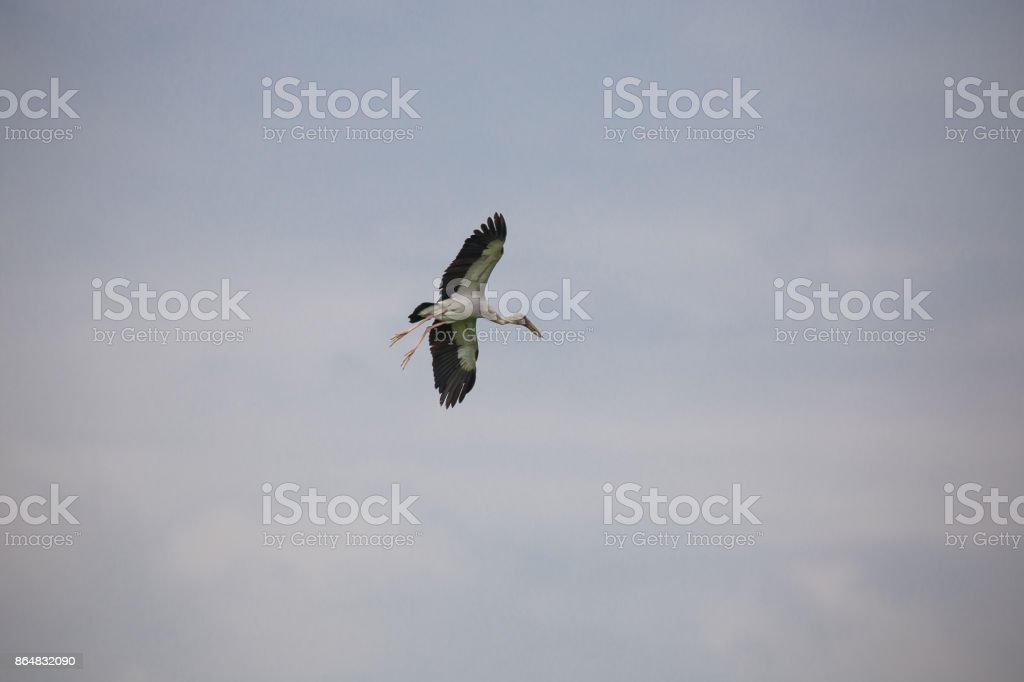 Bird is flying in the sky. stock photo