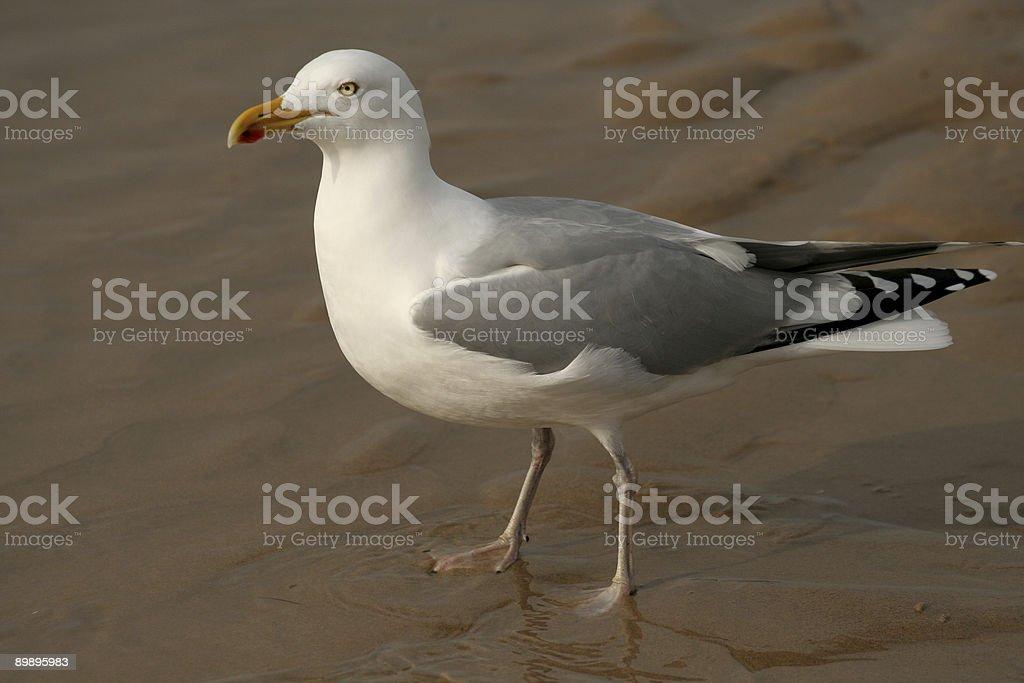 Pájaro está caminando en la arena. foto de stock libre de derechos