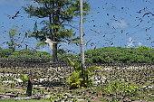Ale de bird aux Seychelles. Sternes fulligineuses en plein vol.