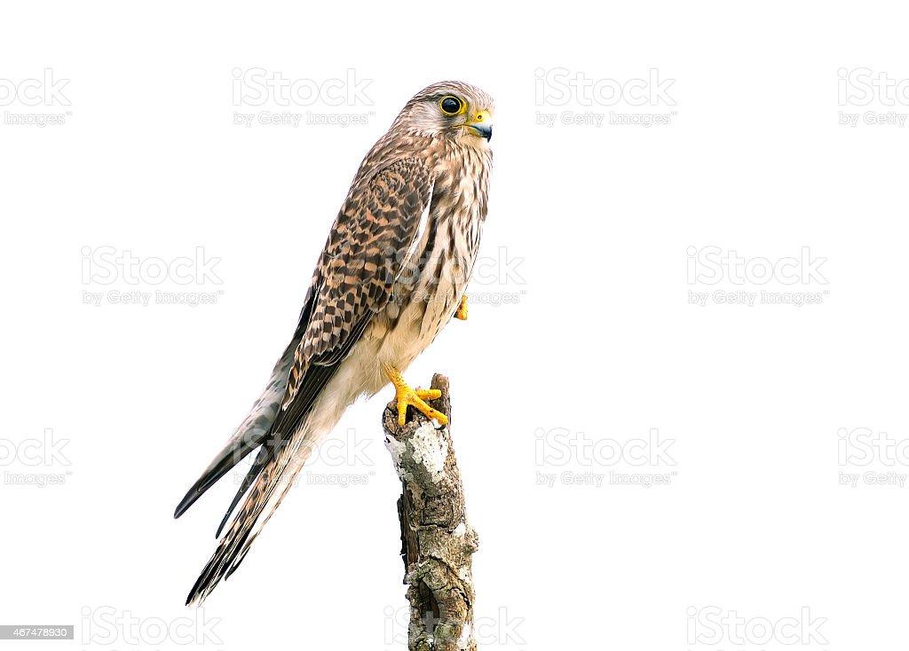 Bird (Common Kestrel) isolated on white background stock photo