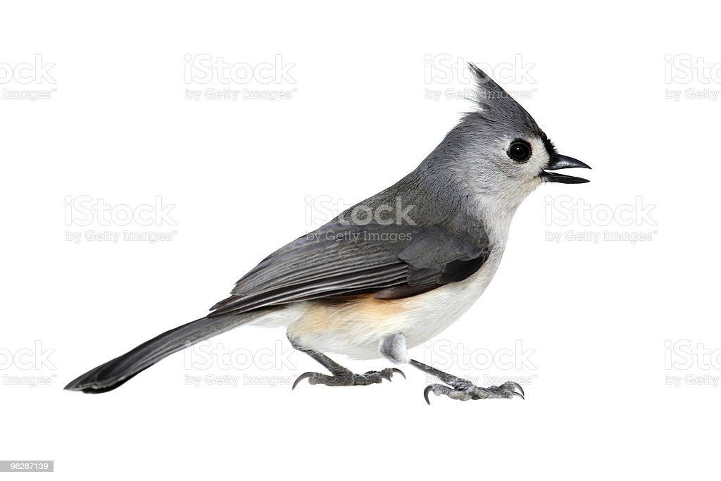 Bird Isolated On White stock photo