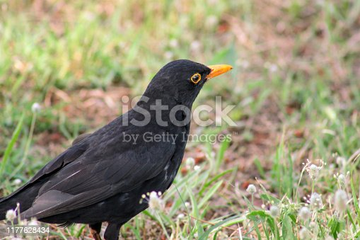 Bird Kos or bird turdus merula standing on grass lawn in its natural environment with green vegetation is search of food. Common blackbird, Merle noir (Turdus merula) or bird Kos is species of bride.