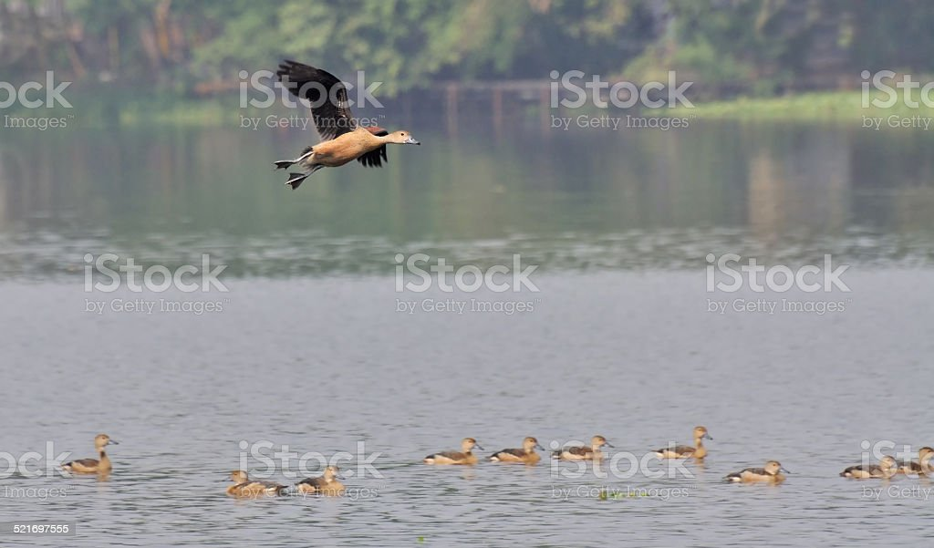 Bird, lesser whistling duck -Dendrocygna javanica, also known as...