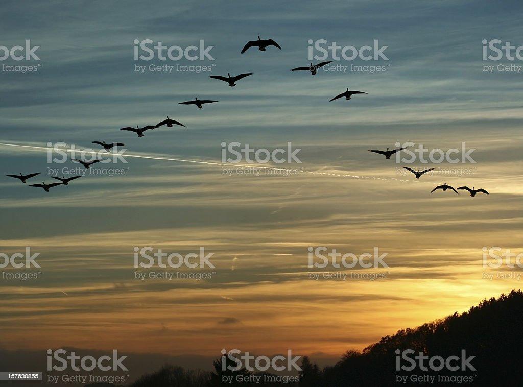 Bird Migration at Sunset royalty-free stock photo