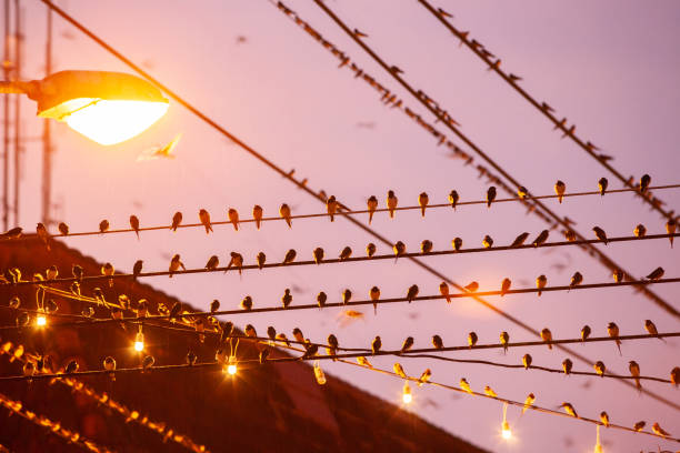 Bird migration. Flock of Barn Swallow on wires and flying in rainy at twilight. Betong City, Yala, Southern Thailand. Bird migration. Flock of Barn Swallow on wires and flying in rainy at twilight. Betong City, Yala, Southern Thailand. yala stock pictures, royalty-free photos & images