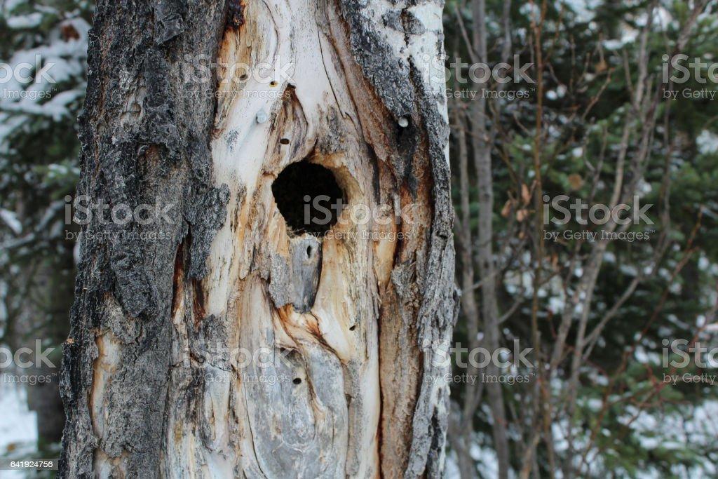 Bird Nest Hole Inside a Spruce Tree stock photo