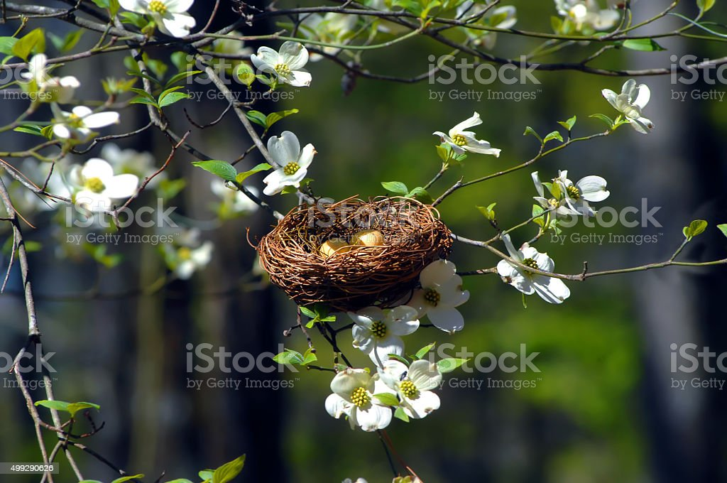 Bird Nest in Dogwood stock photo