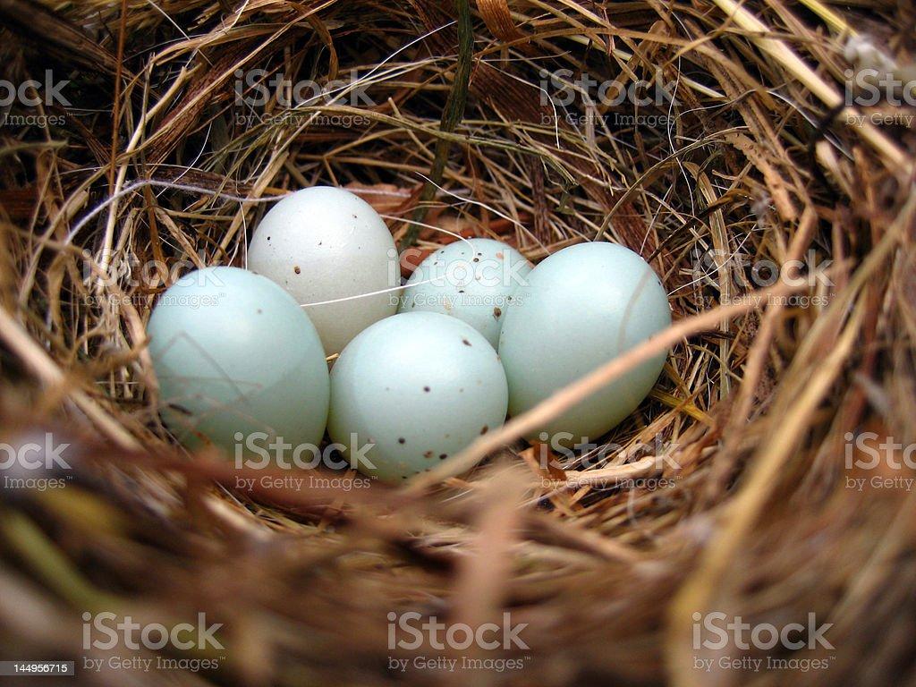 bird nest with 5 eggs / dunnock royalty-free stock photo