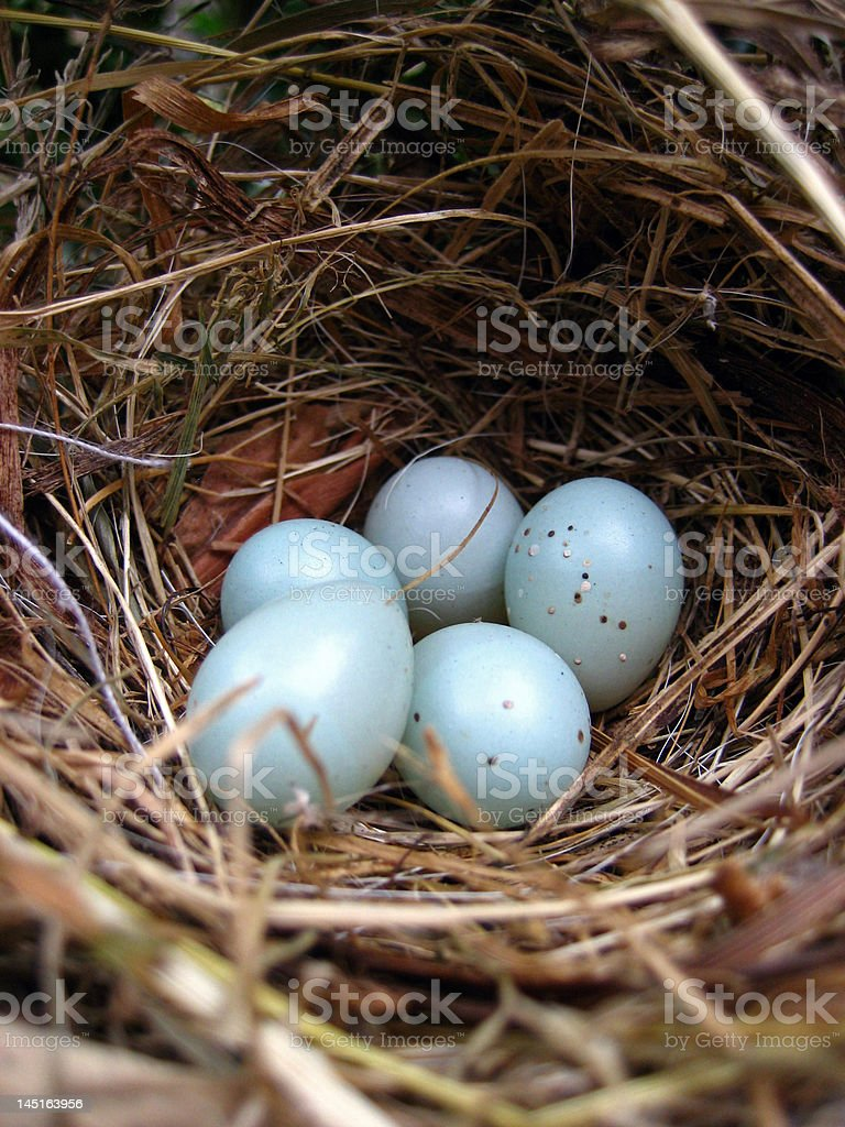 bird nest with 5 eggs from a dunnock stock photo