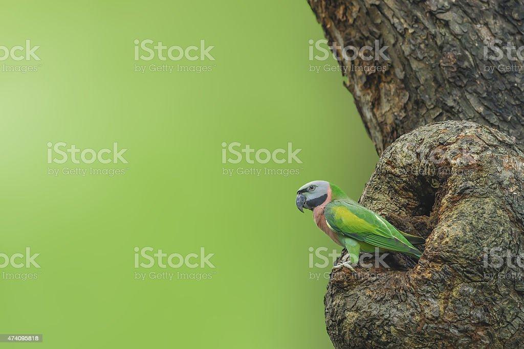 Bird (Red-breasted Parakeet) nesting on tree stock photo
