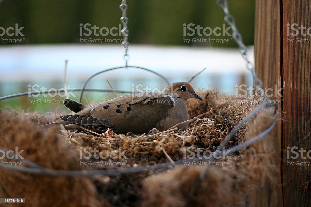 Bird nesting royalty-free stock photo