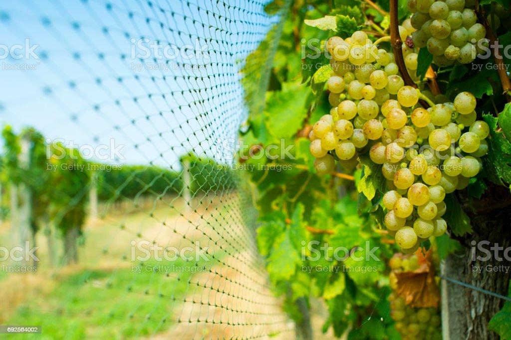 Bird netting at vineyard stock photo