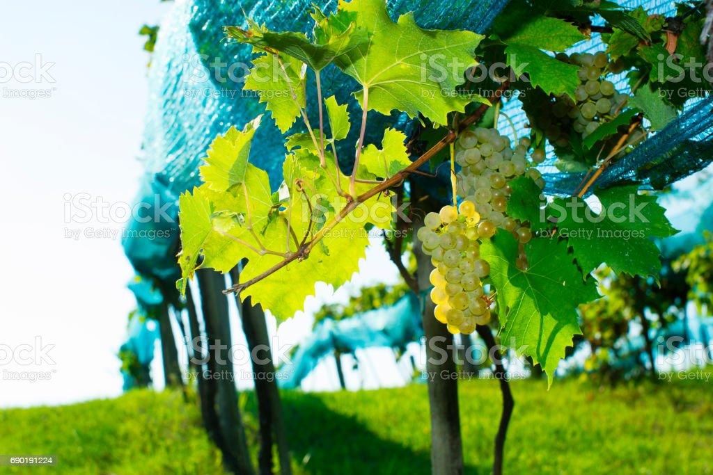 Bird netting on grapevine stock photo