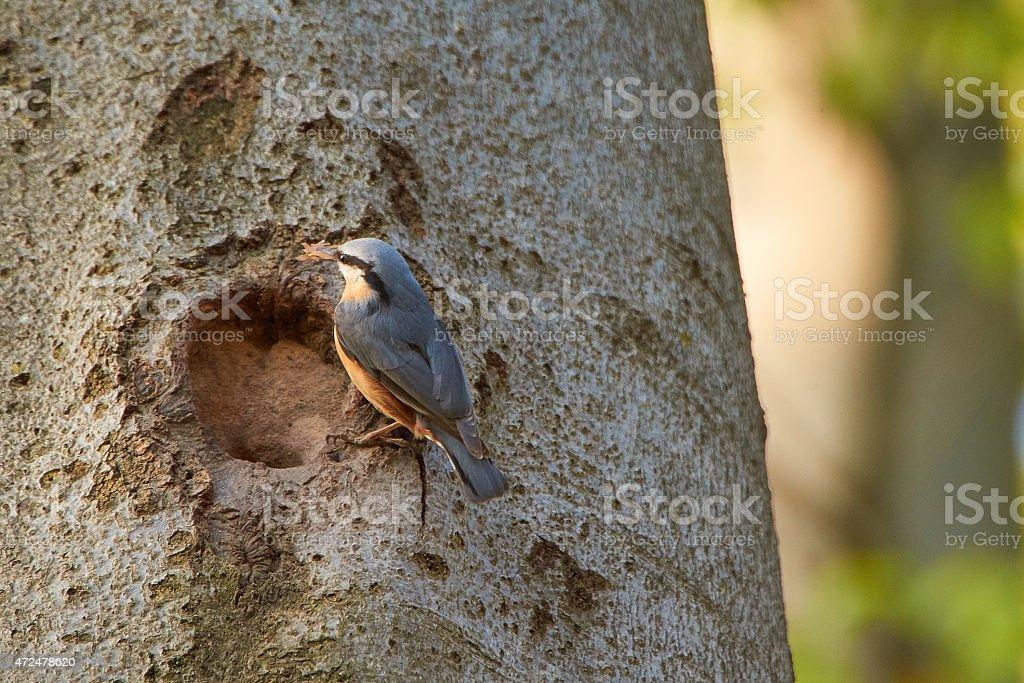 Bird nuthatch nest building on beech tree stock photo