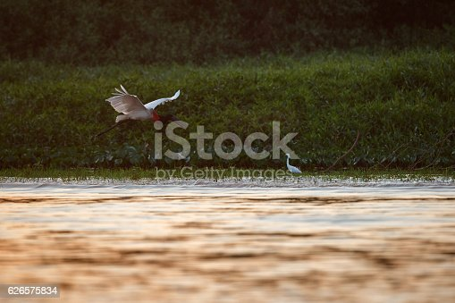 istock bird of pantanal in the nature habitat 626575834