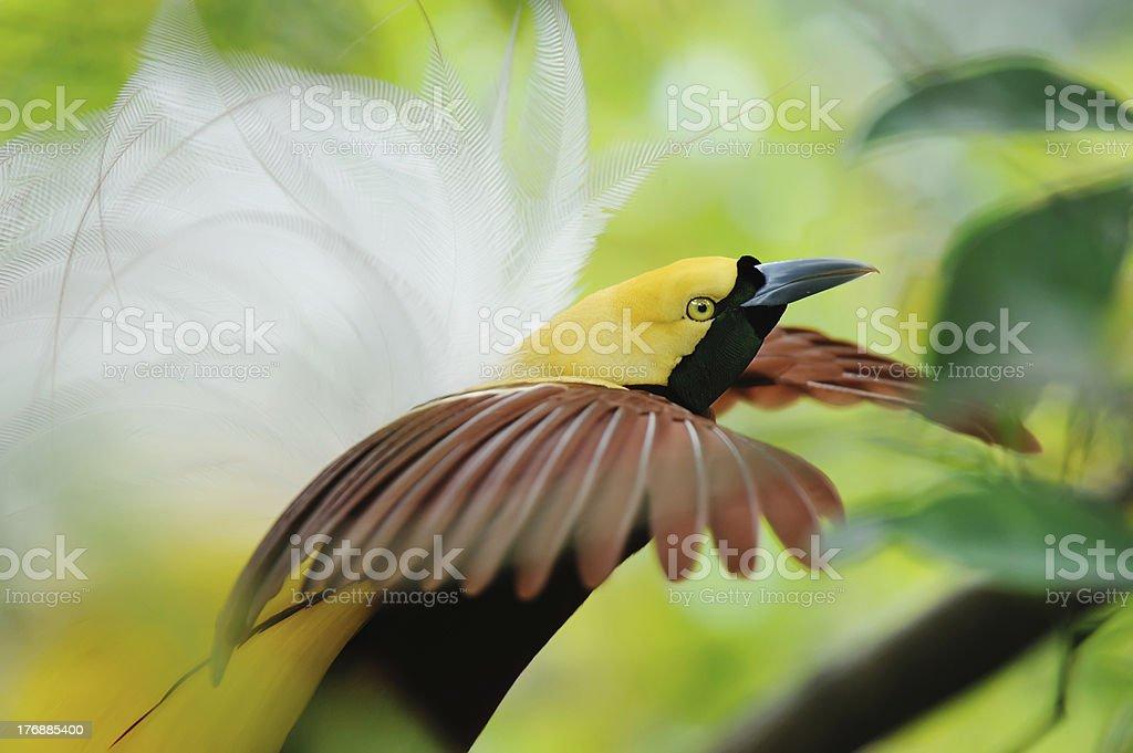 bird of paradise dancing stock photo