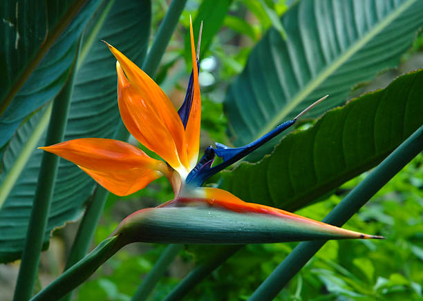 bird of paradise dry stock photo
