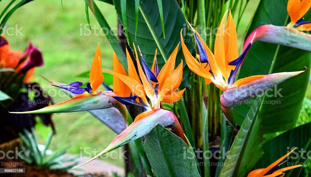 ave do paraíso flor close-up - foto de acervo