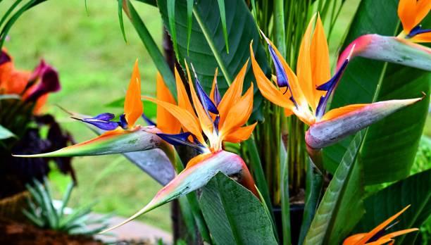 bird of paradise flower close up stock photo