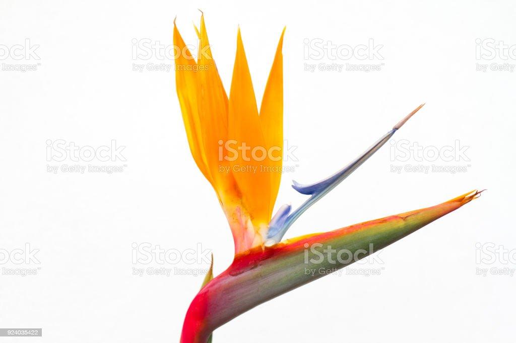 Bird of Paradise Flower Close-Up; White Background stock photo