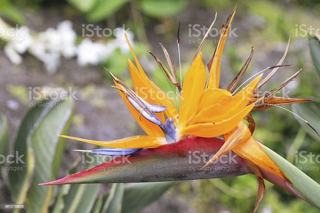 Bird of paradise flower in Limahuli gardens, Kauai island stock photo