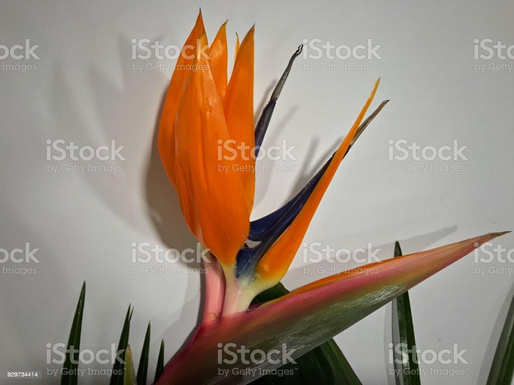 Bird of Paradise Flower, Isolated on White Background stock photo