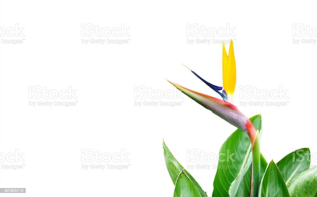 Ave-do-paraíso-flor isolada - foto de acervo