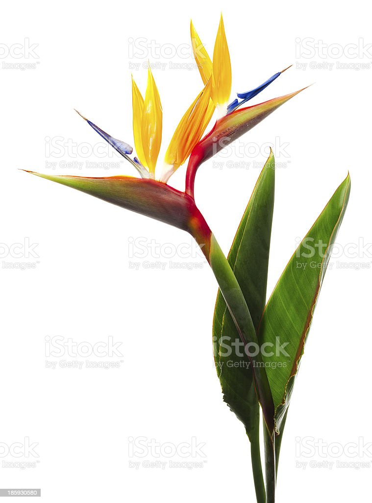 Bird of Paradise Flower on a White Background stock photo