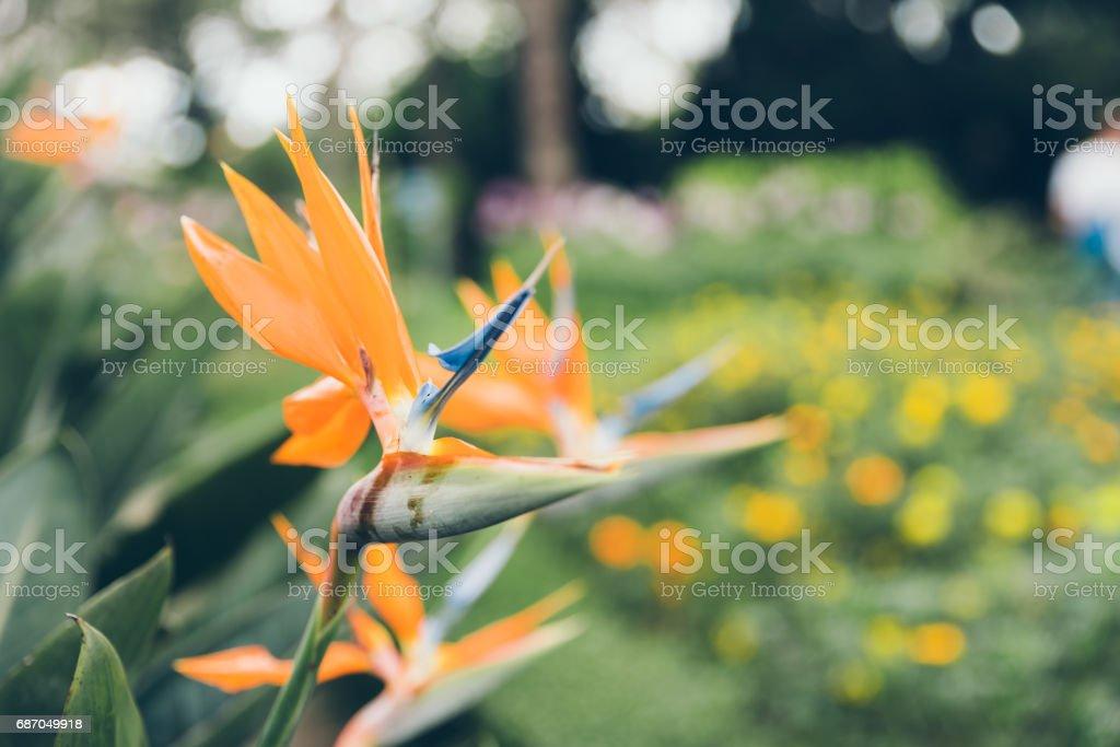 Bird of paradise flower on green background. stock photo