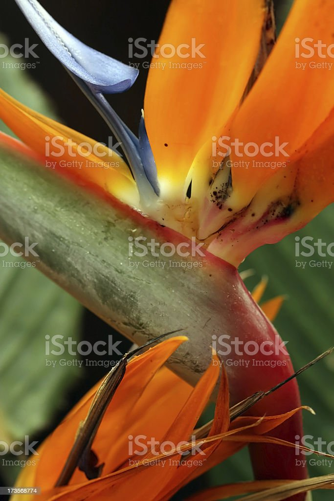 Bird of Paradise Flower ( Strelitzia reginae ) stock photo