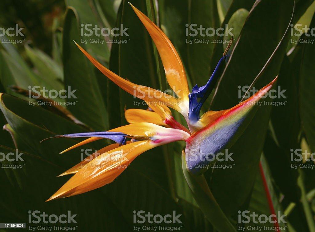 Bird of Paradise Flower royalty-free stock photo