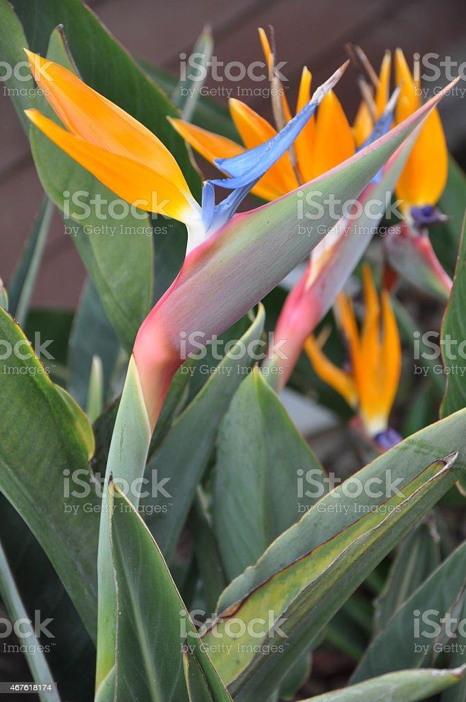 Bird of Paradise Flower stock photo