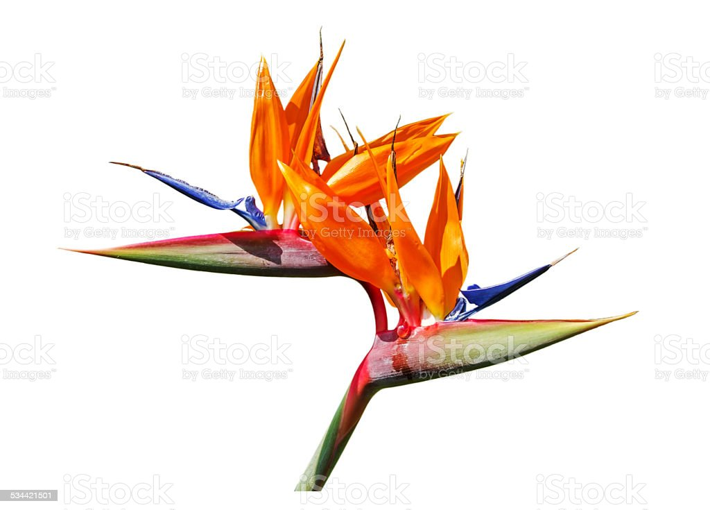 Ave del paraíso flor - foto de stock