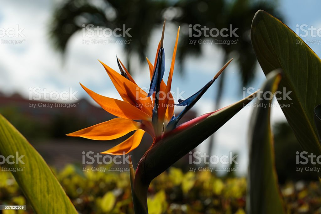 Bird of Paradise Flower Silhouette Bird of Paradise Flower Silhouette. The image contains vivid orange, blue, and green colors. Palm trees, sky and clouds are also depicted. Deerfield Beach, Florida 2015 Stock Photo