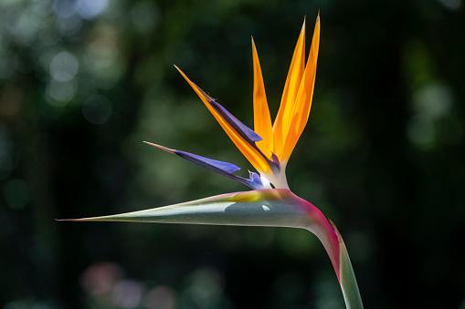 Bird Of Paradise Flower Strelitzia Stock Photo Download Image Now Istock