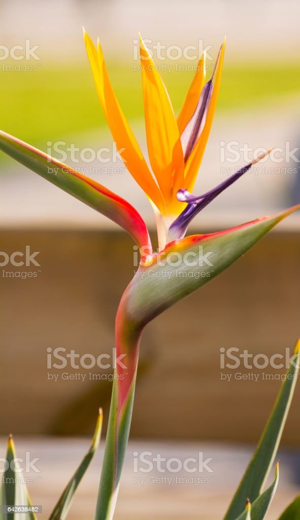 Bird of Paradise Flowers stock photo