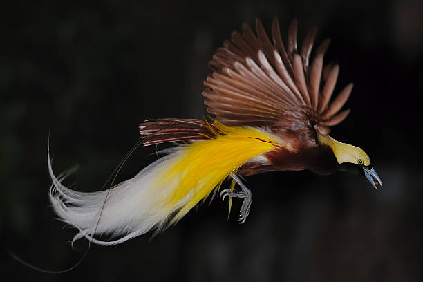bird of paradise in flight stock photo